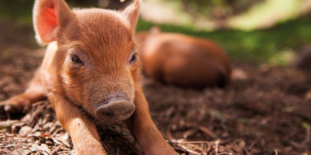 Photo of a piglet from the film Biggest Little Farm