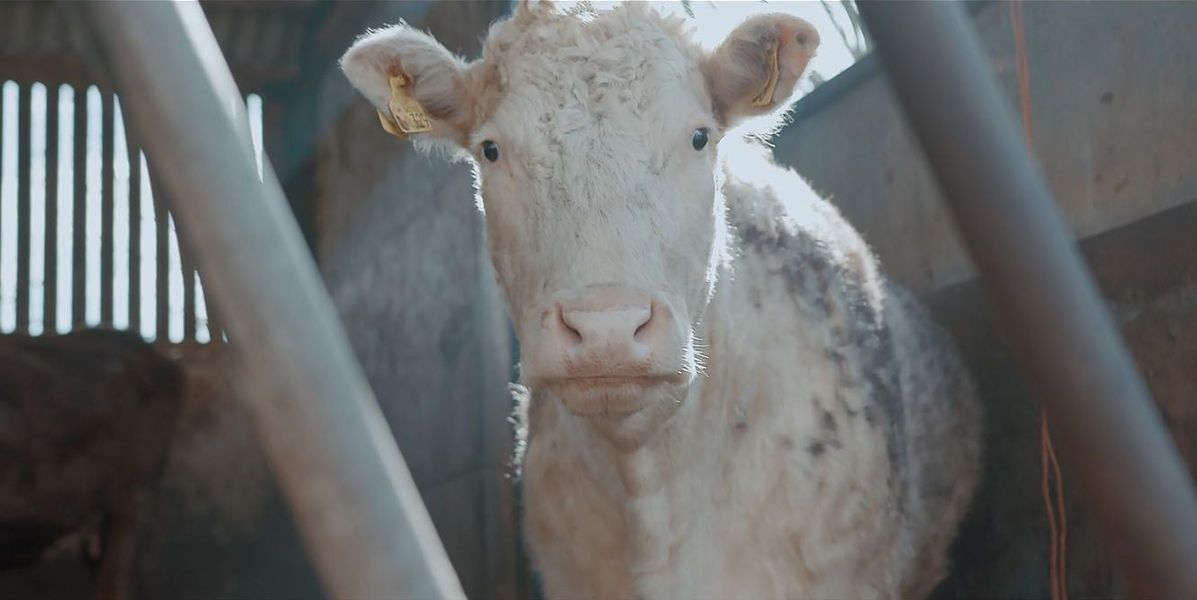 A medium shot of a Cow from the short film 73 Cows